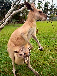 kangaroo mothers